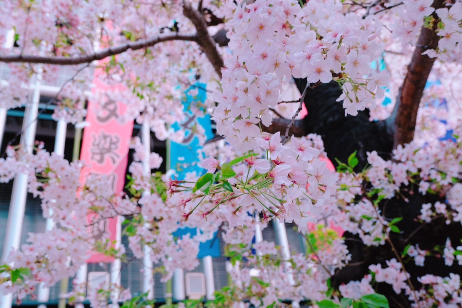 国立文楽劇場 桜