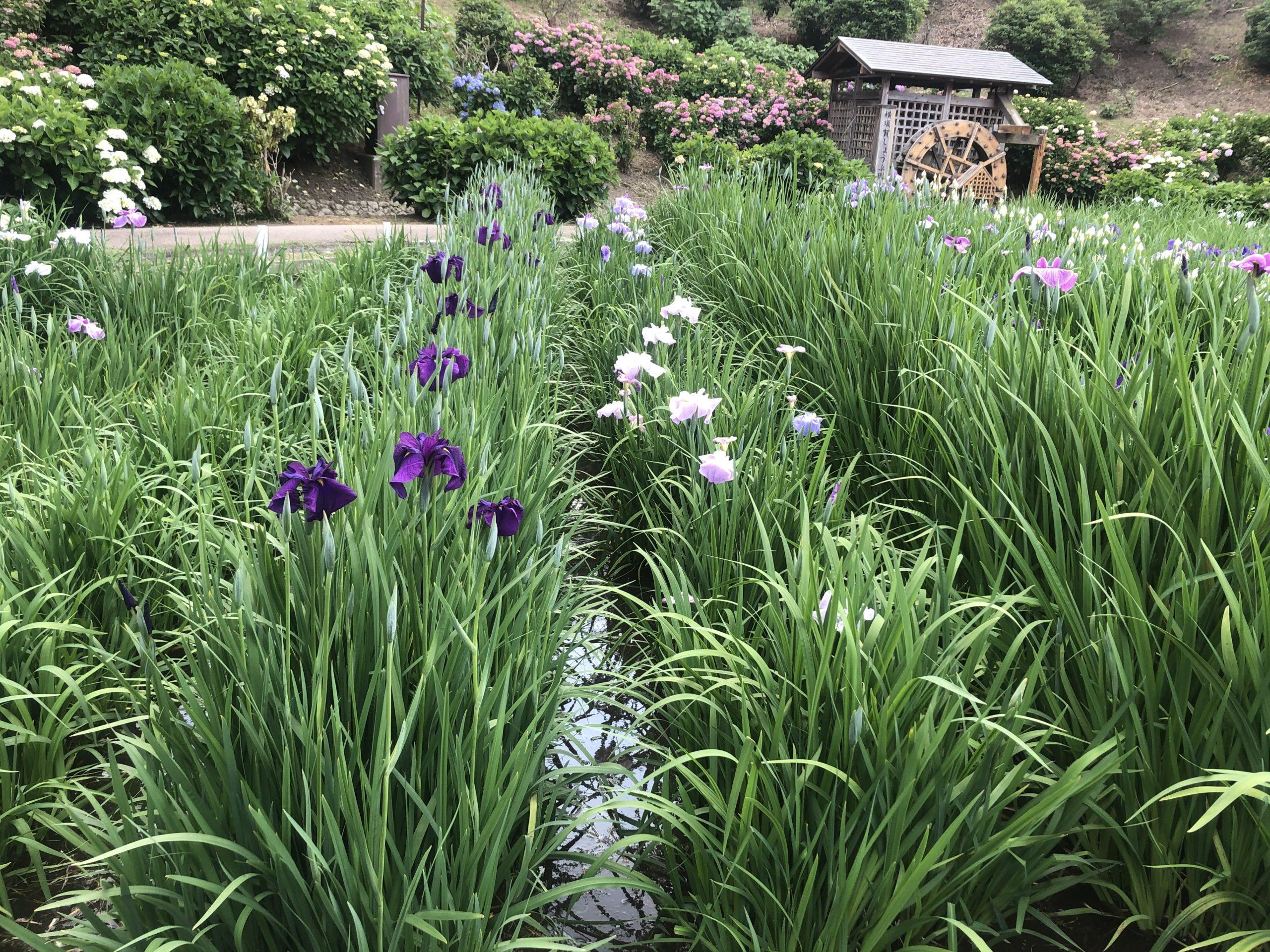横須賀の菖蒲園